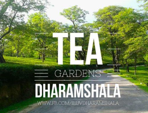 tea-dharamshala
